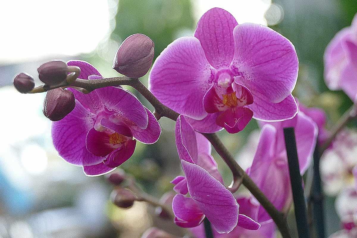 Groe auswahl an orchideen in hamburg garten von ehren pflanzen phalaenopsis orchidee dunkles pink altavistaventures Images