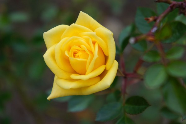 "Rose /""Goldjuwel/""® Zwergrose"