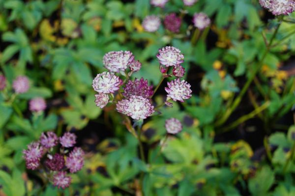 Sterndolde Star of Passion® - Astrantia Major Star of Passion