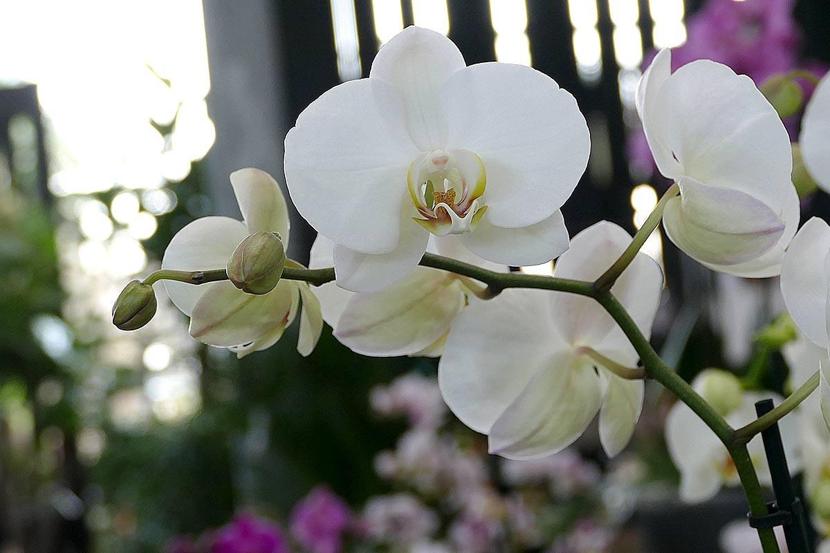 Groe auswahl an orchideen in hamburg garten von ehren pflanzen phalaenopsis orchidee weiss altavistaventures Images