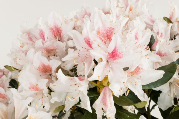 Rhododendron Cunninghams White • Rhododendron Hybride Cunninghams White