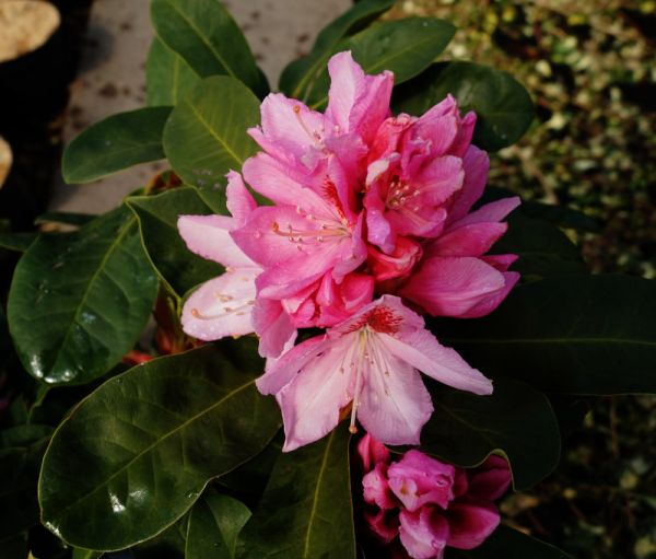 Rhododendron Dr. H. C. Dresselhuys • Rhododendron Hybride Dr. H. C. Dresselhuys