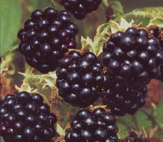 Brombeere Black Satin • Rubus fruticosus Black Satin