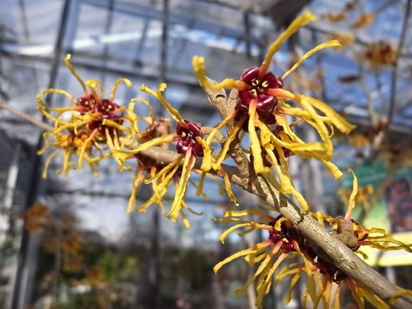 Zaubernuss Barmstedts Gold • Hamamelis interm. Barmstedts Gold