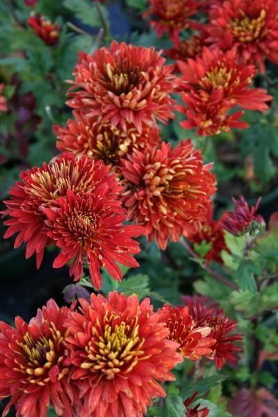 Winteraster 'Brennpunkt' - Chrysanthemum Hortorum Brennpunkt