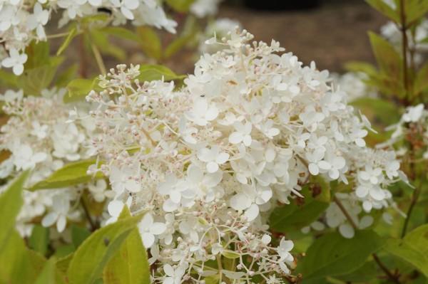 Rispenhortensie Grandiflora • Hydrangea paniculata Grandiflora