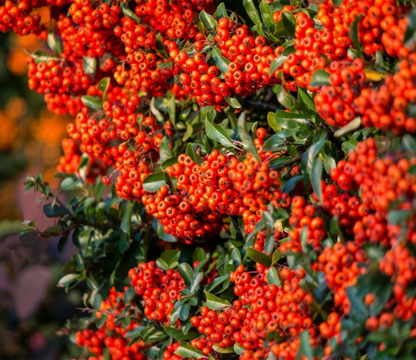 Feuerdorn Red Column • Pyracantha Red Column