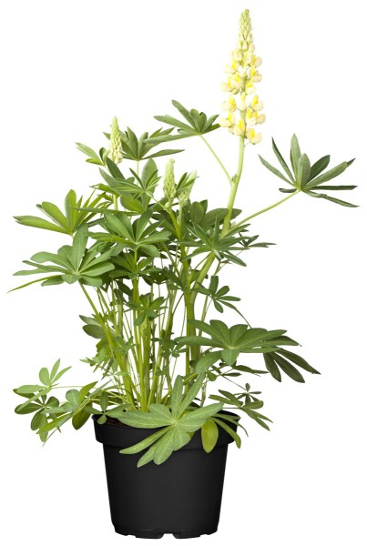 Lupine Camelot Yellow -R- - Lupinus polyphyllus Camelot Yellow -R-