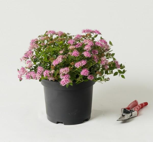 Rosa Zwergspiere • Spiraea japonica Little Princess