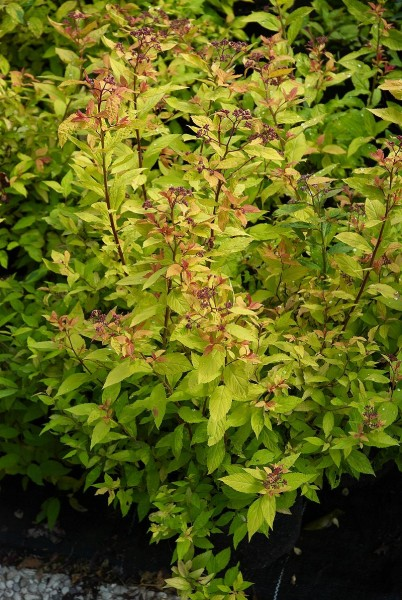 Sommerspiere Goldflame • Spiraea japonica Goldflame