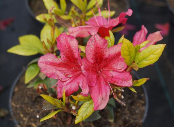 Japanische Azalee Georg Arends • Rhododendron obtusum Georg Arends