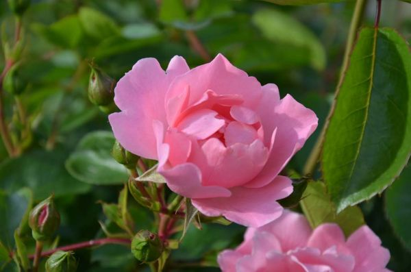 Rose Sommerwind® • Rosa Sommerwind