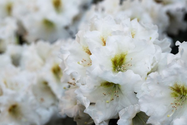 Rhododendron Bohlkens Snow Fire • Rhododendron yakishimanum Bohlkens Snow Fire