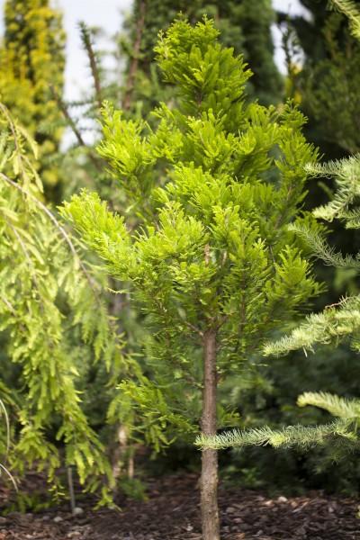Sumpfzypresse Peve Minaret • Taxodium distichum Peve Minaret