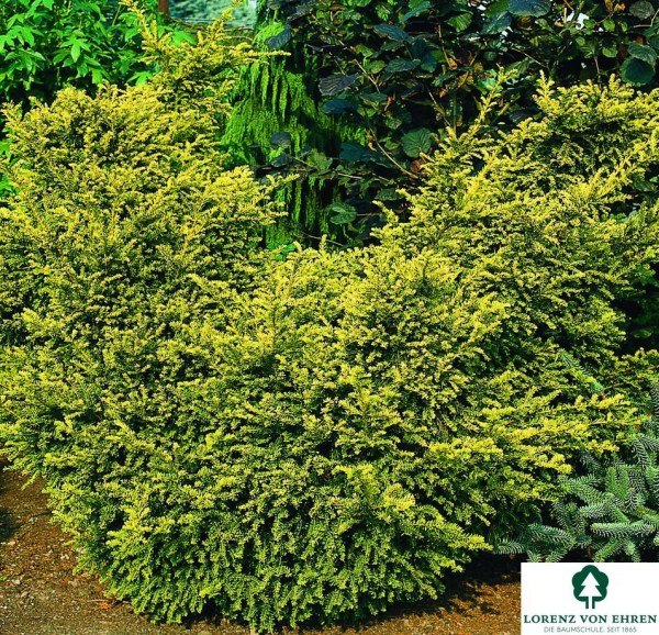 Straucheibe • Taxus baccata Washingtonii