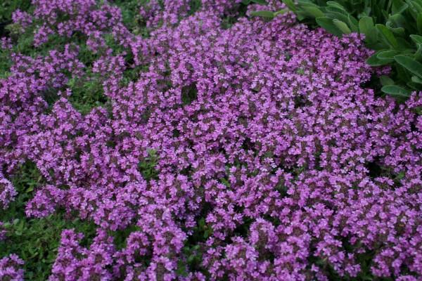 Garten-Thymian Bressingham Seedling • Thymus doerfleri Bressingham Seedling