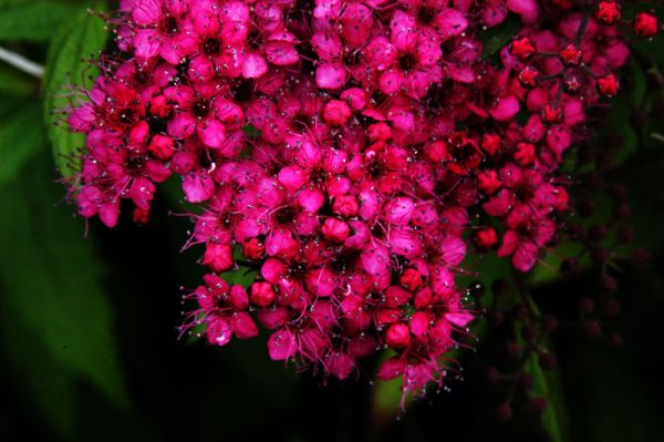 Rote Sommerspiere • Spiraea japonica Anthony Waterer