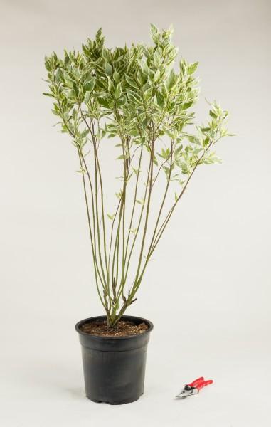 Weißbunter Hartriegel • Cornus alba Elegantissima