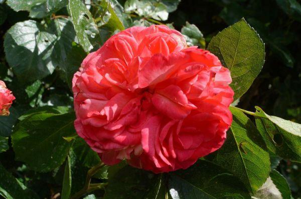 Rose Antike 89 ® • Rosa Antike 89 ®