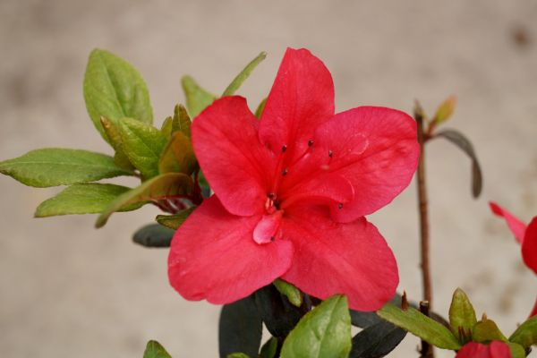 Rhododendron Little Red • Rhododendron obtusum Little Red