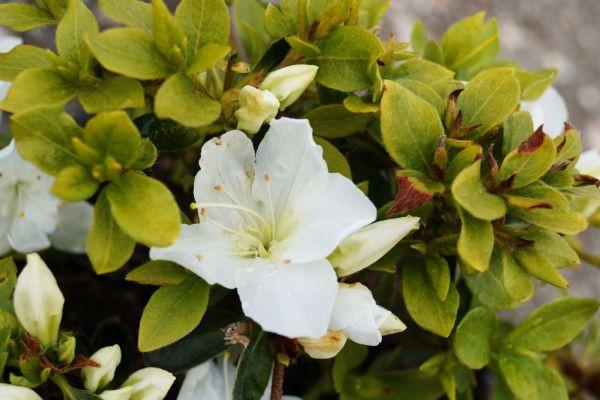 Japanische Azalee Panda • Rhododendron obtusum Panda