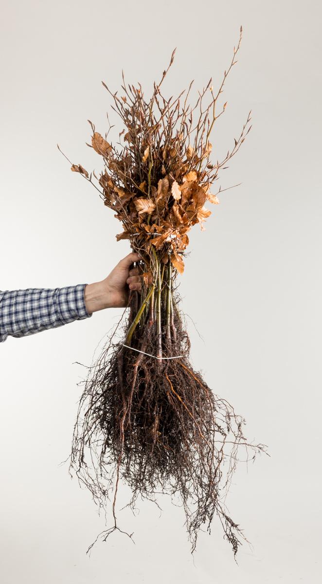 Rotbuche Rotbuchenhecke Wurzelware 80-120 cm hoch Fagus sylvatica 10 Stk Garten von Ehren/®