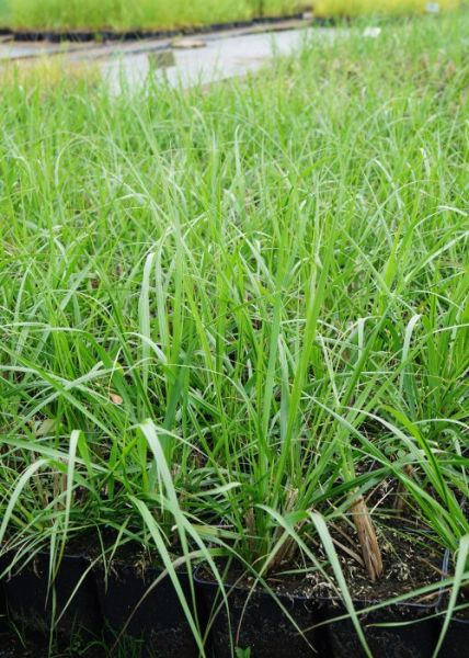 Lampenputzergras Cassian • Pennisetum alopecuroides Cassian