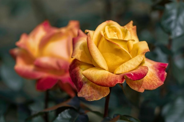 Edelrose Sutters Gold • Rosa Sutters Gold
