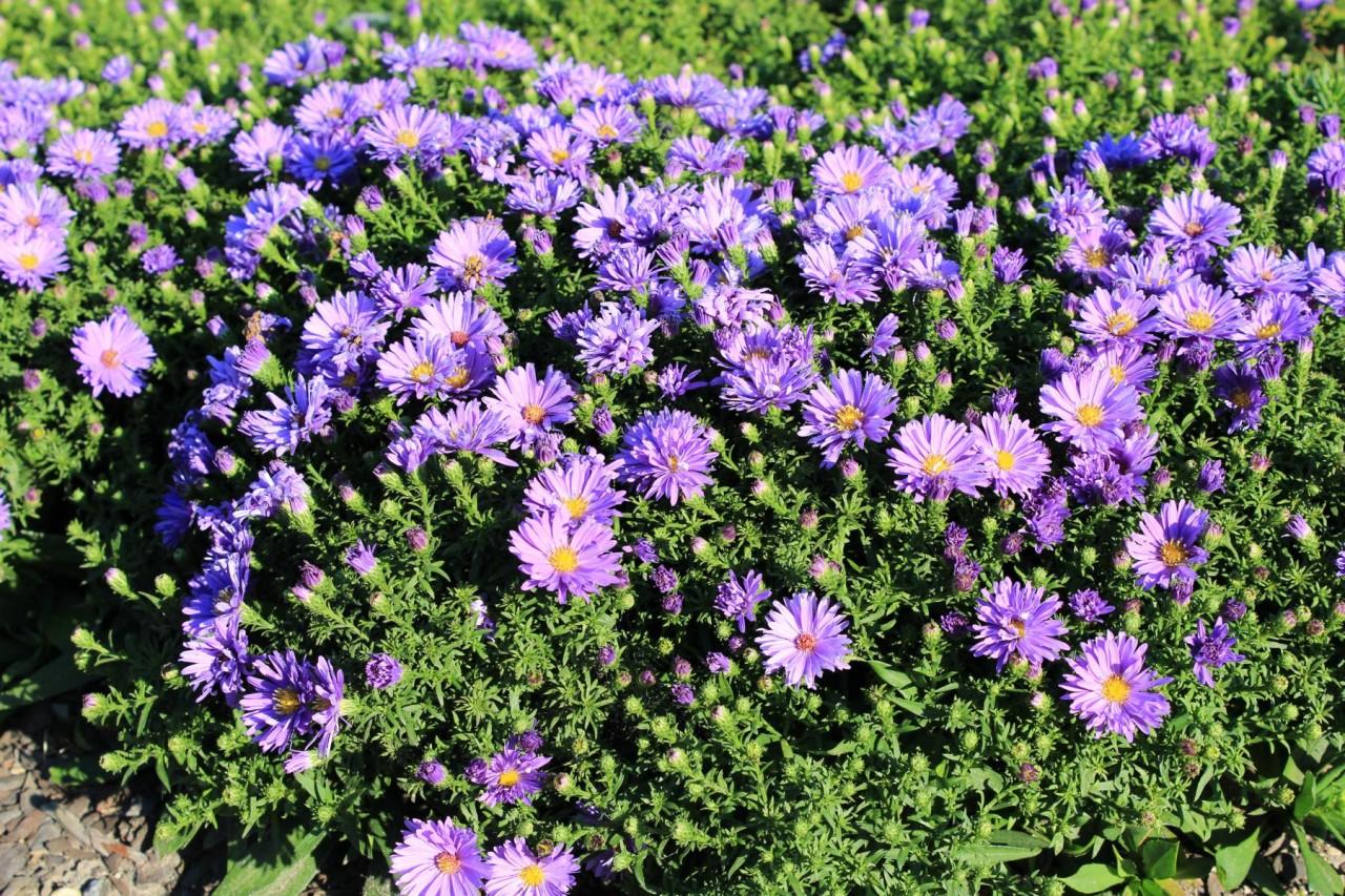 Garten Kissen Aster Kaufen   Garten Von Ehren Qualität Seit 1865 | Garten  Von Ehren   Pflanzen   Gartenmöbel   Wohnaccessoires