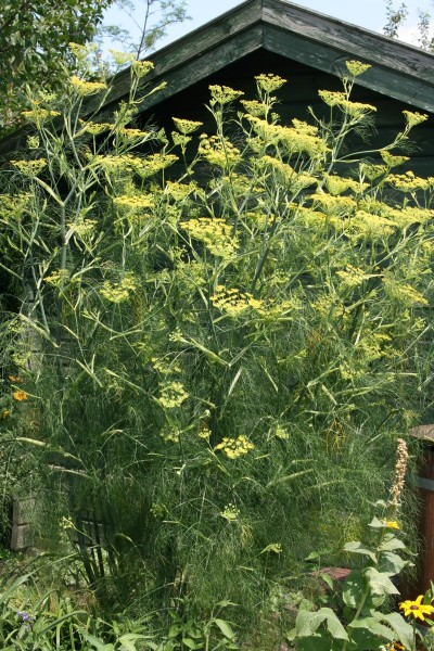 Fenchel • Foeniculum vulgare