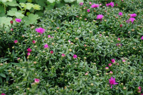 1x Staude Kissenaster Aster dumosus Starlight Bodendecker Garten Pflanze
