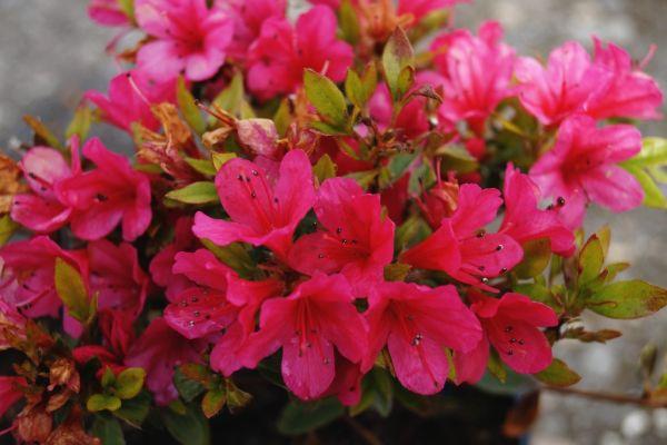 Japanische Azalee Kleiner Prinz • Rhododendron Kleiner Prinz