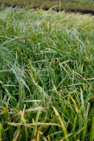 Garten-Segge Variegata • Carex morrowii Variegata