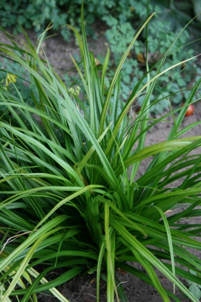 Grünblättrige Segge Irish Green • Carex foliosissima Irish Green