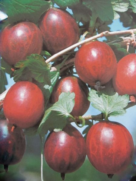 Stachelbeere Redeva • Ribes uva-crispa Redeva