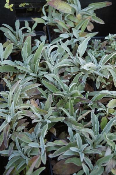 Silberblatt Ehrenpreis 'Silbersee' - Veronica spicata subsp. incana 'Silbersee'