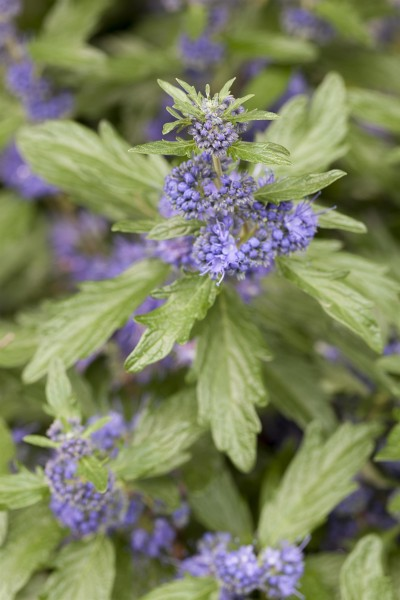 Bartblume Blue Balloon® • Caryopteris clandonensis Blue Balloon