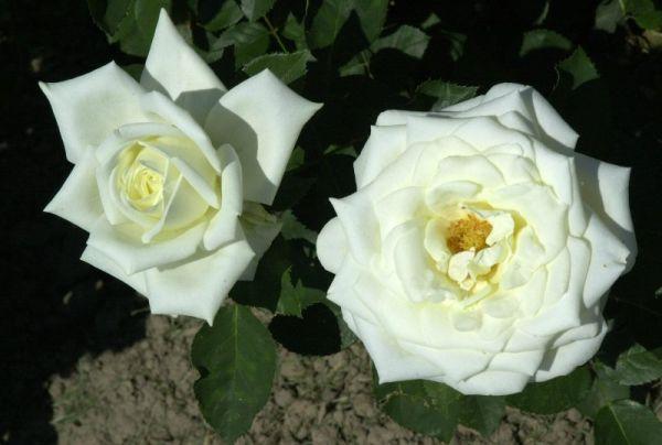 Edelrose Polarstern • Rosa Polarstern