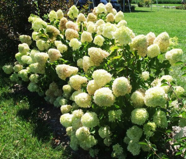 Rispenhortensie Little Lime • Hydrangea paniculata Little Lime