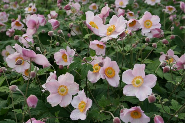 Herbst Anemone Ouverture Anemone Hupehensis Ouverture Garten