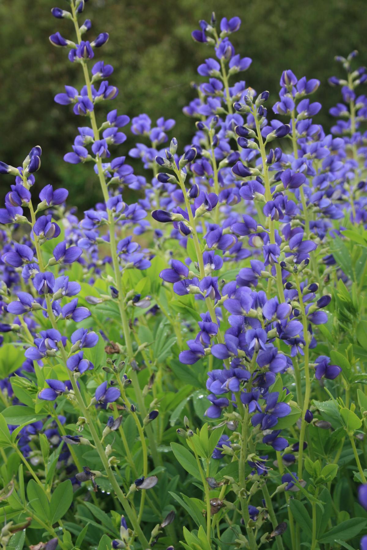 blaue f rberh lse kaufen garten von ehren qualit t seit 1865 garten von ehren pflanzen. Black Bedroom Furniture Sets. Home Design Ideas