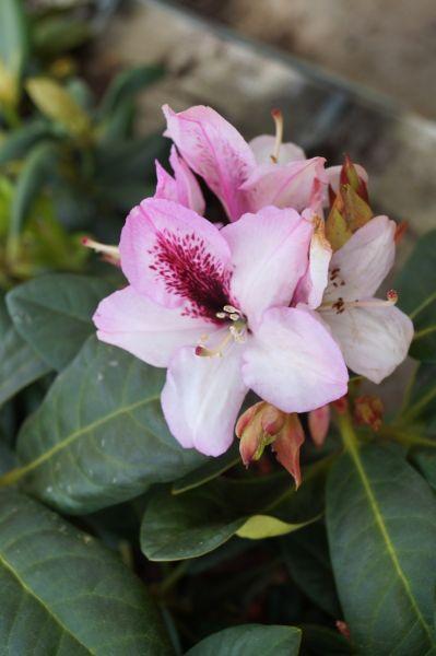 Rhododendron Herbstfreude • Rhododendron Hybride Herbstfreude