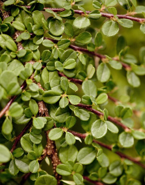 Kriechmispel Streibs Findling • Cotoneaster dammeri Streibs Findling