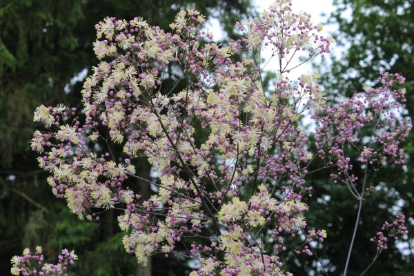 Garten-Wiesenraute Elin • Thalictrum rochebrunianum Elin