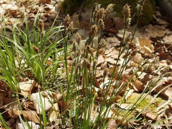 Schatten-Segge • Carex umbrosa