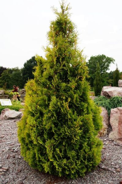 Lebensbaum Sunkist • Thuja occidentalis Sunkist