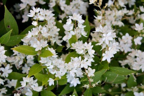 Maiblumen-strauch • Deutzia gracilis