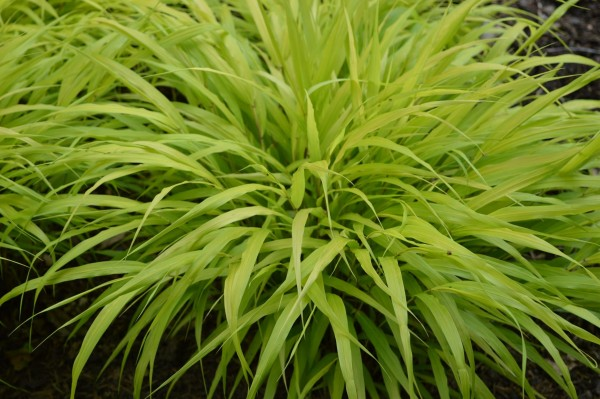 Garten-Ziergras All Gold • Hakonechloa macra All Gold