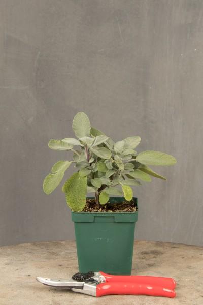 Garten-Salbei Berggarten • Salvia officinalis Berggarten