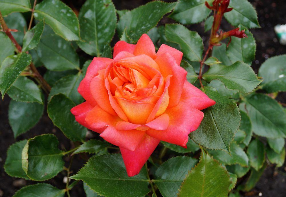 historische rosen rosen rosen kletterpflanzen pflanzen garten von ehren pflanzen. Black Bedroom Furniture Sets. Home Design Ideas